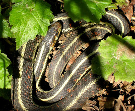 Photo: A Common Garter snake enjoying the sun:  http://www.bcreptiles.ca/snakes/comgarter.htm