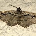 Bent-line Carpet Moth male