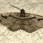 Bent-line Carpet Moth male