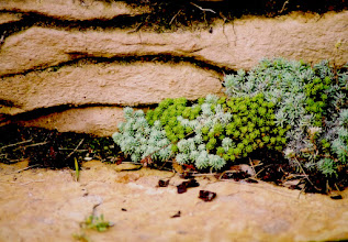 Photo: Details - different types of Sedum (Stonecrop) filling the gaps in some natural stairs.
