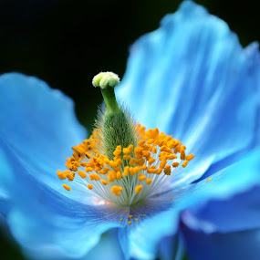 Blue by Darren Sutherland - Nature Up Close Flowers - 2011-2013 ( macro, blue, poppy, yellow, flower,  )