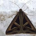 Trigonodes Moth