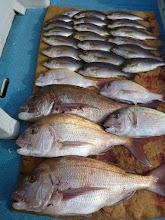 """Photo: """"クマガイさん""""の釣果! 真鯛3匹はいいサイズです!"""