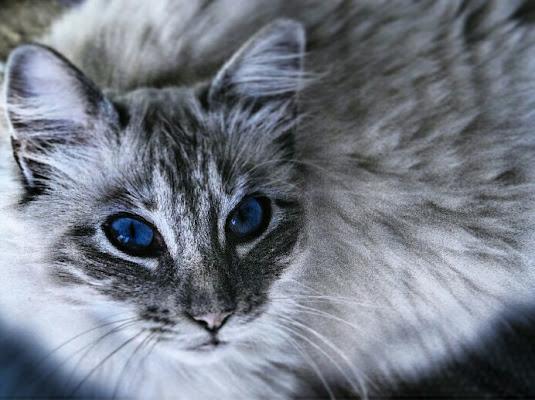 White cat di Phoebe
