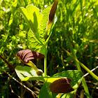 Round-leaved birthwort