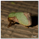 Stinging Rose Caterpillar Moth