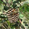 Vespa-do-papel-Europeia (European paper wasp)