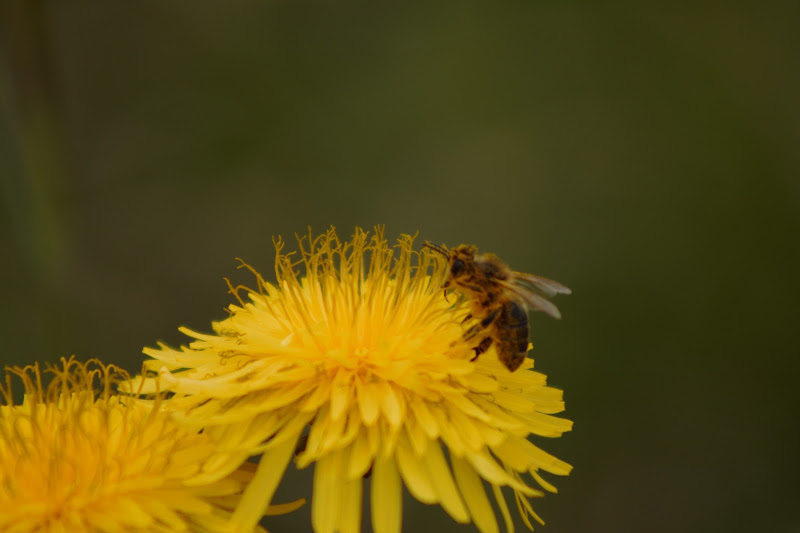 L'ape..... di Reginato