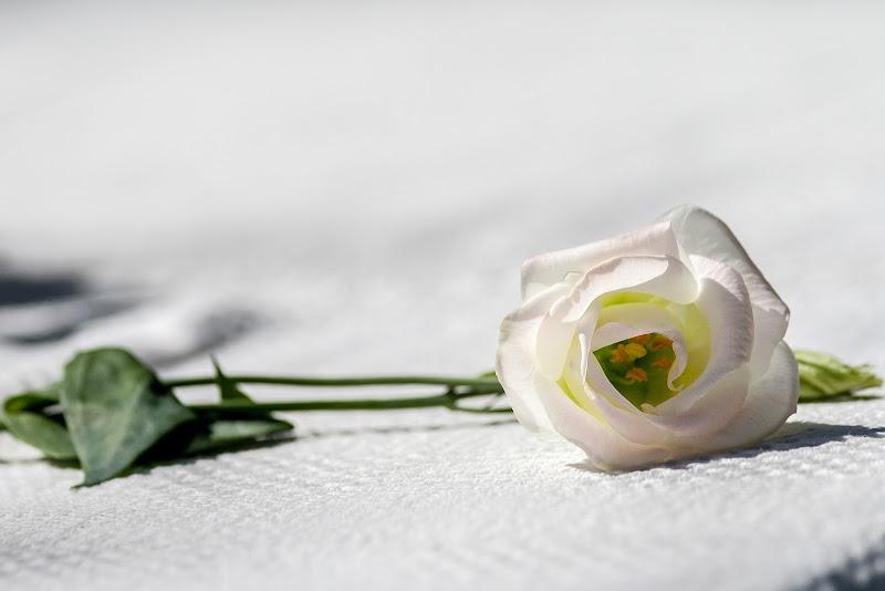 La rosa di Andrea Calò
