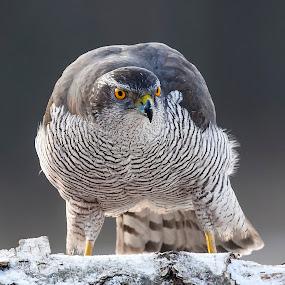 winter wildlife... by Stanley P. - Animals Birds (  )