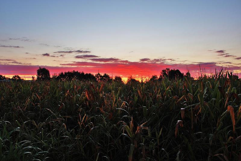 Campo di mais all'alba ... di ScrofaniRosaria
