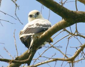 Photo: White Hawk