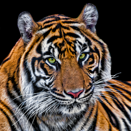 by Judy Rosanno - Animals Lions, Tigers & Big Cats