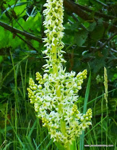Photo: Close-up of corn lily (Veratrum californicum) at Wizard Falls on the Metolius River, Camp Sherman, OR