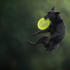 Light in the darkness :)) by Claudio Piccoli - Animals - Dogs Playing ( kelpie, discdog, dogsinaction, australiankelpie, flyingdogs, catchingdogs, claudiopiccoli, frisbee, frisbeedog, workshopdogsinaction, jumpingdogs )