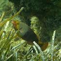 Mediterranean parrotfish