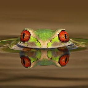 Frog in the Pond by David Knox-Whitehead - Animals Amphibians ( macro, red eyes, tree frogs, green, frogs, amphibians )