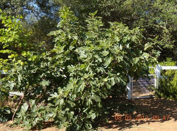 Jackie's Fig Tree