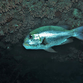by Phil Bear - Animals Fish ( reef, coral, fish, coral reef, maldives, snapper )