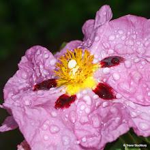 Photo: Beautiful but short-lived flower of Cistus purpureus