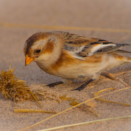 Snow Bunting by Craig Kingma - Animals Birds ( snow bunting, perching, beach, birds,  )