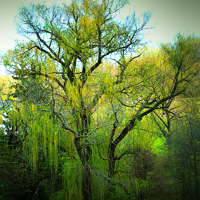 Very old Weeping Willow by Chloe Roethler - Landscapes Prairies, Meadows & Fields ( creepy, tree, nature, green, photo )