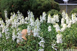 Photo: 拍攝地點: 梅峰-溫帶花卉區 拍攝植物: 紫羅蘭 拍攝日期: 2014_02_18_FY