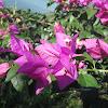 Bougenville Flower