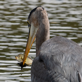 by Keith Sutherland - Animals Fish ( great blue heron )