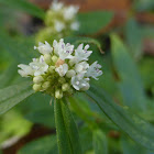 Shrubby False Buttonweed