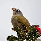 Rabo-mole-da-serra(Pale-throated Serra-Finch)
