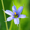 American Blue-eyed Grass