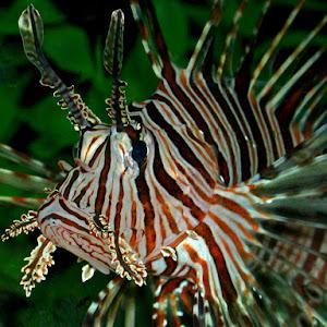 lionfish4-9.jpg