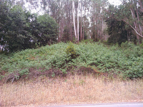 Photo: Poison oak thrives under eucalyptus. Sometimes, it completely takes over when the tall trees are gone.