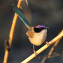 Purple-crowned Fairy Wren