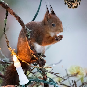 Breakfast in the Christmas tree by Mats Andersson - Animals Other ( christmas, eating, christmas tree light, christmas tree, light, squirrel )