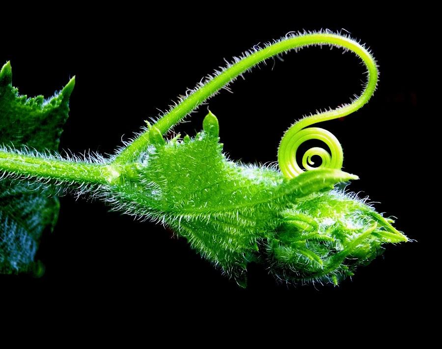 Tendril by Rajen Gogoi - Nature Up Close Leaves & Grasses (  )