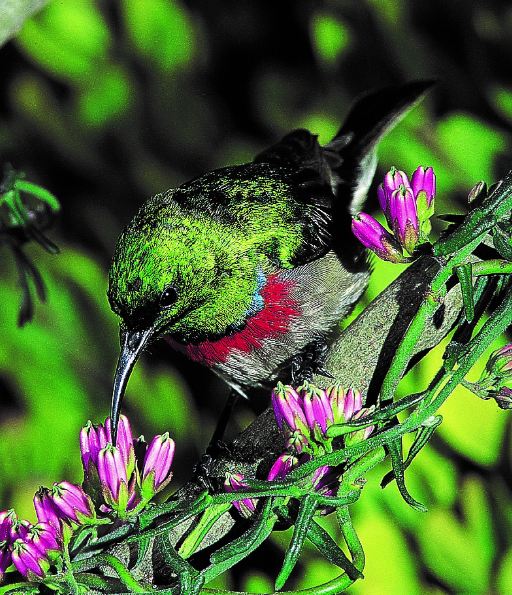 A double-collared sunbird tops up on energy supplies at one of the new 'nectar filling stations' planted in Cape Town.