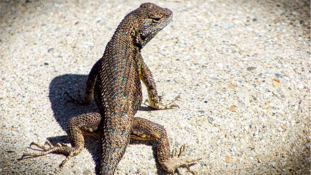 Sunning Lizard.jpg