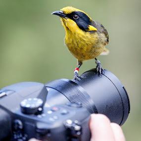 the pose by Gary Parnell - Animals Birds ( bird, animals, camera, birds, healesville sanctuary )