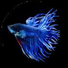 Der Betta Fisch ist eine einzigartige Spezies icon