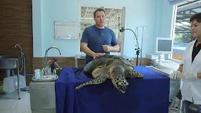 Thailand Sea Turtles thumbnail