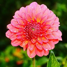Le pastel du dalhia by Gérard CHATENET - Flowers Single Flower