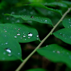 Rain drops  by Abinash Patra - Nature Up Close Leaves & Grasses ( water, nature, backgrounds, leaves, rain )
