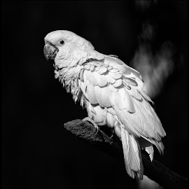 Blue -eyed Cockatoo by Dave Lipchen - Black & White Animals ( blue -eyed cockatoo )