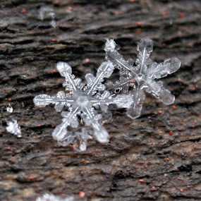 Double Snowflake Beauty by RichandCheryl Shaffer - Nature Up Close Other Natural Objects ( #godart, #snowflakes, #beauty, #winter, #kissesfromheaven )