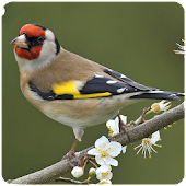 Top Birds Ringtones