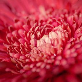 camellia by Brook Kornegay - Flowers Single Flower ( camellia, pink,  )