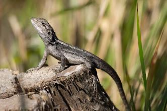 Photo: Jacky Dragon, Amphibolurus muricatus