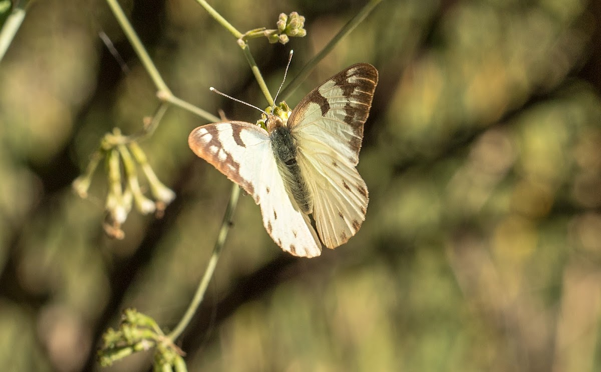 Brown-tipped Butterfly